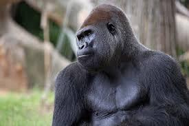 western lowland gorilla zoo atlanta