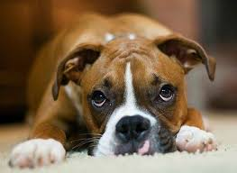 boxer dog price boxer dog breeders boxer puppies for sale by breeder