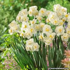 double daffodil bulbs cheerfulness american meadows