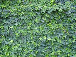 creeping fig or ficus pumila is an oldie but a goodie can remove