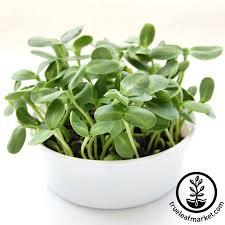 mini microgreens growing kit u2013 grow your own micro greens from
