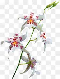 Orchid Flower Pic - orchid flower png vectors psd and icons for free download pngtree