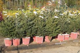 How Much Are Real Christmas Trees - wyevale garden centres holds christmas tree prices post brexit