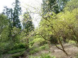 Botanical Gardens Ubc by Asian Garden Melliodendron Xylocarpum Ubc Botanical Garden Forums