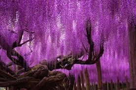 japan flower tunnel unbelievable place wisteria flower tunnel in japan steemit