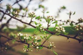 apple tree bloom wallpapers 110 royalty free apple tree leaf images peakpx