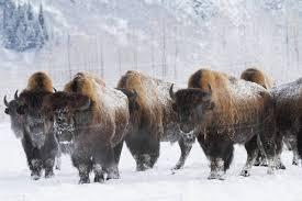 Alaska Wildlife images Captive herd of bison at the alaska wildlife conservation center jpg