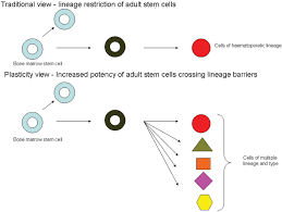 therapeutic potential of stem cells in lung disease progress and