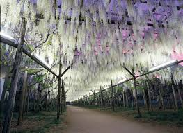 wattention welcome to wisteria lane in japan