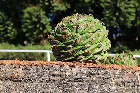 anger in tasmania after one of pair of pine cone bunya