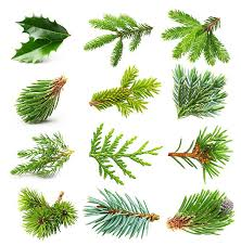 evergreen tree pictures images and stock photos istock