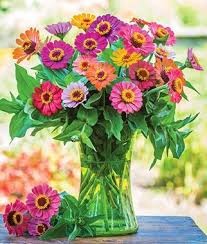 zinnia flowers zinnia seeds plants bright colors bedding cut flowers burpee