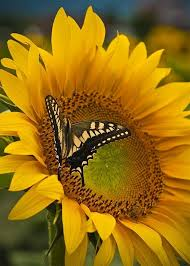 sunflower and butterfly my of sunflowers