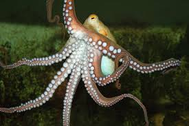 why don u0027t octopuses tie themselves in knots u2013 national geographic