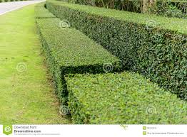 a well landscaped and manicured hedge of bushes royalty free stock