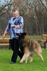 belgian shepherd oregon belgian shepherd dog achieves ckc double grand champion ckc