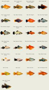 platy class guide fish care and exotic fish