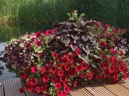 blumenk sten balkon rote pflanzen für den balkon blumenkästen balkon terasse