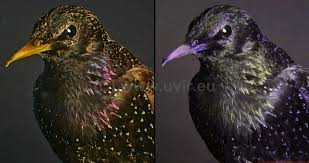 uv light for birds photography of the invisible world european starling sturnus