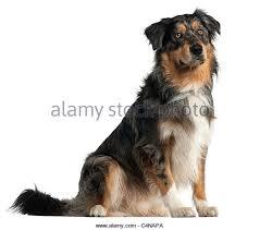 australian shepherd 1 jahr kaufen australian shepherd dog black white stockfotos u0026 australian