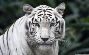 white tiger 4k hd desktop wallpaper for 4k ultra hd tv wide