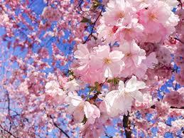 Japanese Language Of Flowers - hanakotoba u2014 the japanese language of flowers u2013 tiffany robert