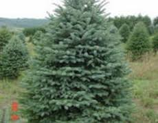 guide to our trees ohiotrees ohio quality evergreens