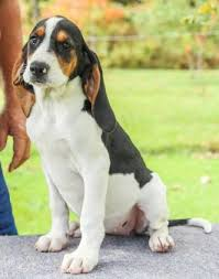 bluetick coonhound kennels in pa walker hound puppies for sale lancaster puppies