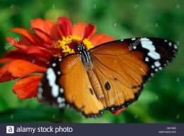 butterfly flowers kerala butterfly sitting flower stock photos kerala butterfly