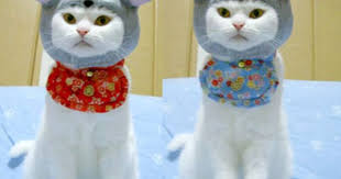 Cat Halloween Costumes Cats Daily Irritant Cats Disguise Dressed Kitties