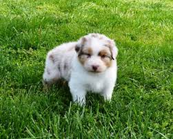 4 week old australian shepherd copperridge australian shepherds u2022 gavin x maple week 4 5