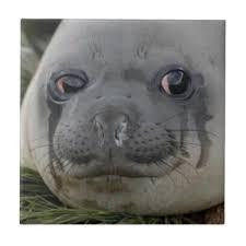 Baby Seal Meme - crying seal tumblr
