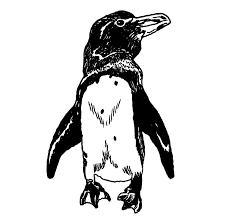 the galapagos penguin audubon