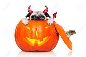 halloween devil pug dog inside pumpkin scared and frightened