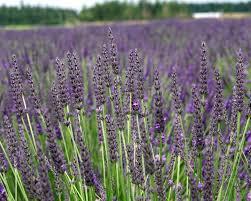 Fragrant Plants For Pots Amazon Com Findlavender Lavender Grosso Dark Purple Flowers