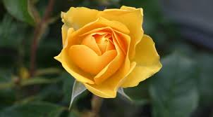 flower pic prettiest rose flower pictures red pink yellow white orange