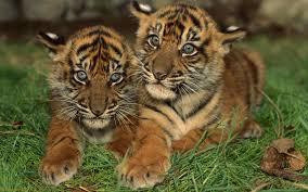 bengal tiger download tigers wallpaper u0027royal bengal tiger cubs