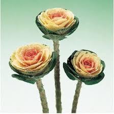buy ornamental kale crane pink flower seeds at best prices in