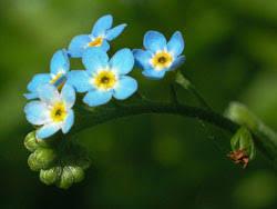 """Unutmabeni Çiçeği      Diğer adı     """"mineçiçeği""""."""