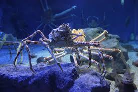 file laika ac japanese spider crab 8576014299 jpg wikimedia