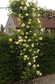 12 best yellow rose images on pinterest yellow roses climbing