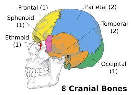 Human Anatomy Skull Bones The Skull Boundless Anatomy And Physiology