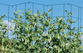 Trellis Peas Tall Expandable Pea Trellis Collapsible Support