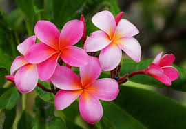 plumeria flower 6 iconic tropical flowers that will make you think of hawaii
