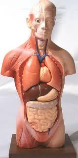 Anatomy Pancreas Human Body 12 U0026 034 Desktop Human Body Torso Anatomical Model New