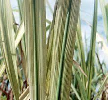 Plant Diseases Wikipedia - sugarcane grassy shoot disease wikipedia