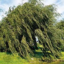 malpighiales plant order britannica com