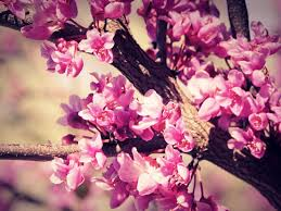 cherry flowers wallpapers category flowers wallpaper page 0 high resolution wallarthd com