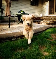 Everytime I Look At You I Go Blind Ray Charles The Golden Retriever Home Facebook