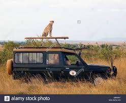 safari jeep cheetah acinonyx jubatus sitting on the roof of a safari jeep
